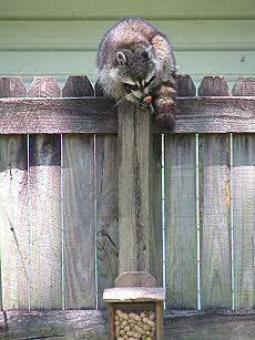 Racoon comes to visit the squirrel box in Alabama, photograph copyright Lorelle VanFossen